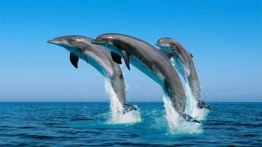 dolphins-jumping-out-of-the-water-wallpaper-1