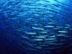 shoal-of-herring-sea-pic