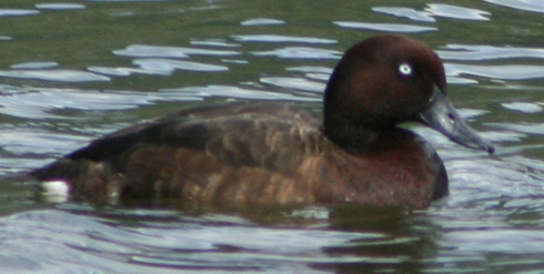 i-e5ef5049173063134adc1bff6e6def03-Mad_pochard_male_2006_29-8-2009