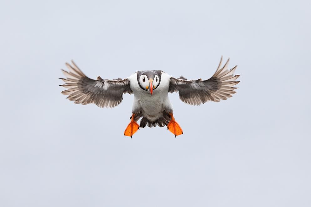 atlantic-puffing-braking-in-flight-_y5o3864-seabird-islands-off-seahouses-uk