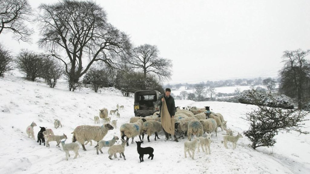 Snowy_countryside_feeding_sheep_in_snow_cold_weather_fros1